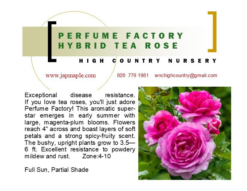 Perfume-Factory-Hybrid-Tea-Rose