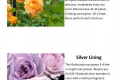 Golden-Opportunity-climber-Silver-Lining-floribunda