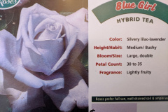 blue-girl-hybrid-tea
