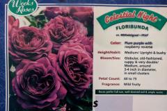 celestial-night-floribunda