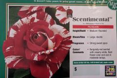 scentimental-floribunda